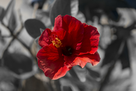 Bright red flower on a gray background (Hibiscus, Malvaceae family)