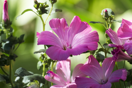 Purple funnel-shaped flowers of royal mallows (Lavatera)