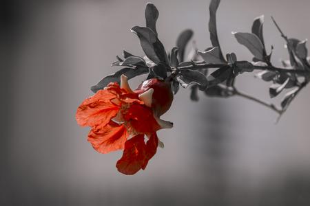 変色した葉 (ピューニカグラネイタム) とぼかした灰色の背景にザクロの木の赤い花