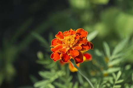 Orange flower of a marigold on a blurred background (Tagetes patula) Stock fotó