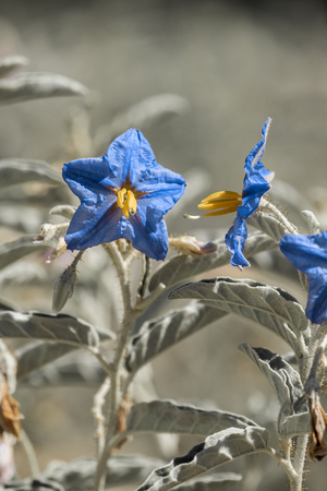 A flower with bright blue petals, yellow pestles and pale green leaves