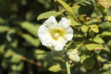 Flower of White hollyhock (Alcea rosea)