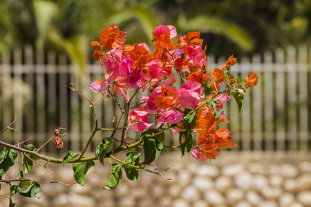Coral-pink flowers of the evergreen shrub Bougainvillea (Bougainvillea glabra)