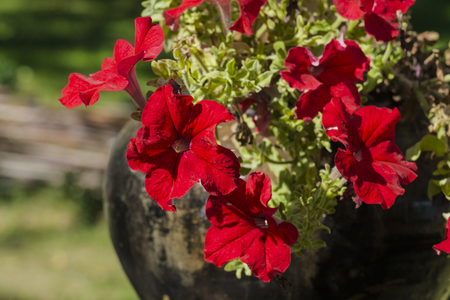 Brightly red cone-shaped flowers of Spreading Petunia (Petunia hybrida). Easy Wave Red Spreading Petunia
