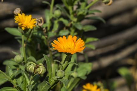 Yellow-hot flower of marigold (Calendula officinalis) Stock Photo