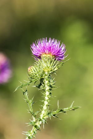 Brightly violet flowers of spiny plumeless thistle (Carduus acanthoides)