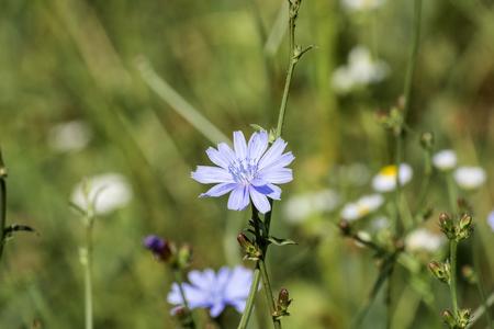 Gently blue flower of Common chicory (Cichorium intybus) Stock Photo