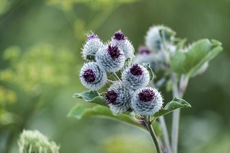 Lilac-purple woolly burdock flowers (Arctium tomentosum)