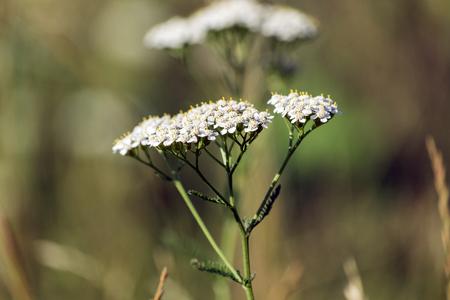 White flowers of a common yarrow (Achillea millefolium)