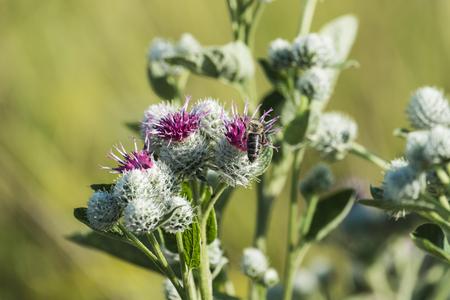 Lilac-violet woolen flowers burdock and bee collecting pollen (Arctium tomentosum) Stok Fotoğraf