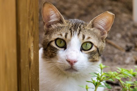 A brown-white cat with green eyes and a torn off piece of looks at you