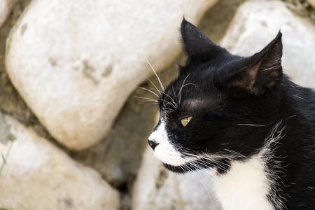 Chat noir et blanc noble avec un regard sournois dans le profil Banque d'images - 92132208