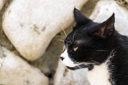 Noble black and white cat with a sly look in profile