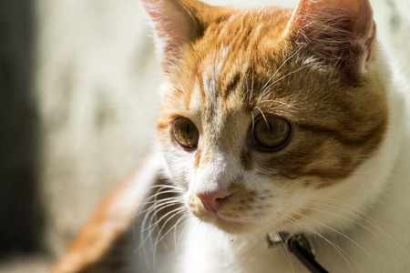 White-red-headed cat with an interested look