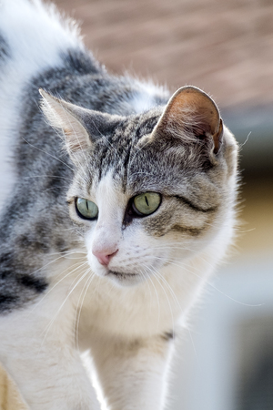 White-gray cat with arrows at the eyes Stock Photo