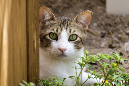 Brown-white cat with green eyes and a torn off of piece looks at you