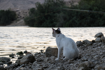 White cat with brown ears on evening fishing close-up the float in anticipation of delicious fish Stock fotó