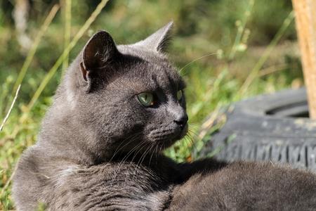 Beautiful ashen cat looking away (Russian Blue)