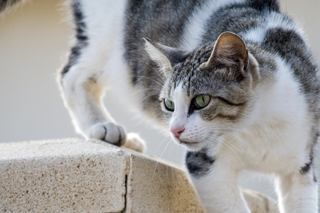 White-gray cat with arrows at the eyes Banco de Imagens
