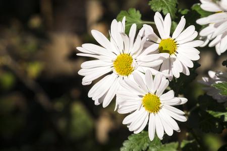 Large white flowers of max chrysanthemum (Leucanthemum maximum)