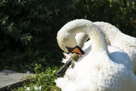 White swan mute cleanses its feathers (Cygnus olor)