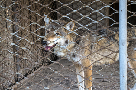 Skinny Gray wolf in captivity (Canis lupus)