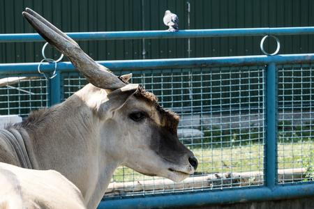 The common eland with a sad look in captivity (Taurotragus oryx)