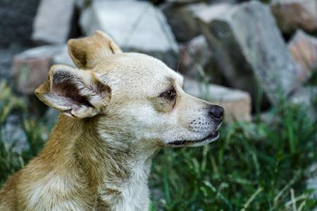 Red-white courtyard dog Preacher looks away Stock Photo