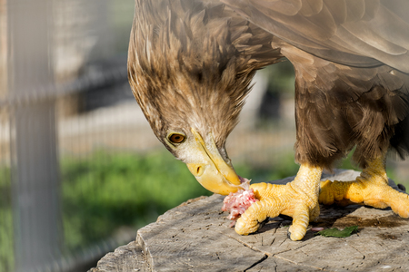 Golden eagle tears meat (Aquila chrysaetos)