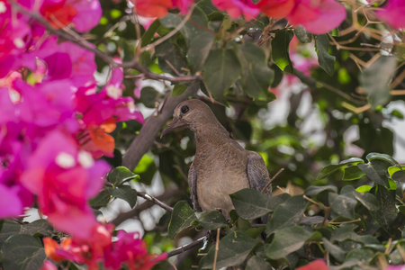 Grown-up chick Laughing dove sits in the bush of Bougainvillea (Spilopelia senegalensis)
