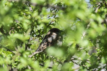 The sparrow sits in an ambush (Ukraine) Stock Photo