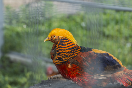 Male of the Golden Pheasant in captivity (Chrysolophus pictus)