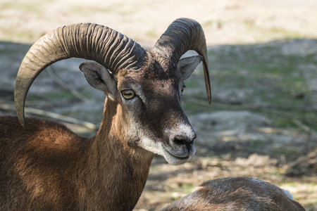 Young male Mouflon with an enigmatic smile (Ovis orientalis)