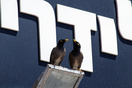 Two yellow-billed birds Common myna sits on a lamp (Acridotheres tristis)