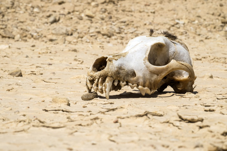 The skull of a dog with a bundle of wool on the vertex lies on the ground Stock Photo