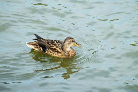 The mallard female swims in the water (Anas platyrhynchos)