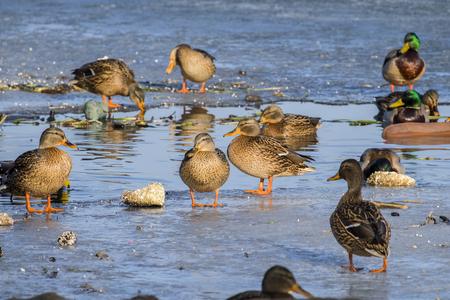 Mallard ducks wintering near open water (Anas platyrhynchos)