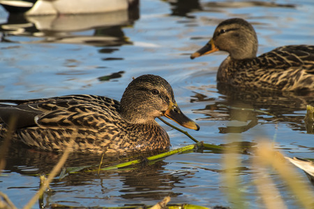 Female wild mallard duck swim in a pond (Anas platyrhynchos) Stock Photo