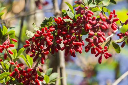 Barberry branch densely strewn with berries (Berberis vulgaris)
