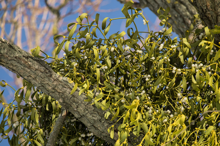 Tree branches affected by mistletoe (Viscum album)