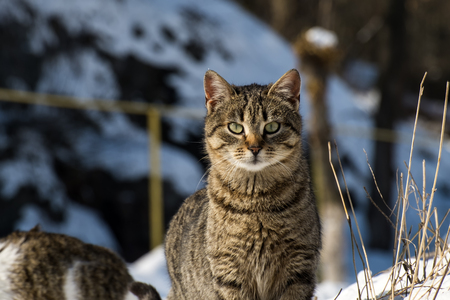 Striped cat with the look of an experienced hunter
