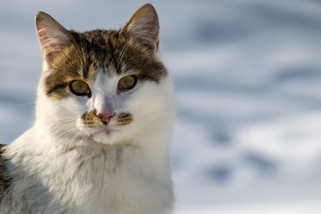 Beautiful spotted cat on a blurred snowy background