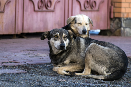 Homeless stray dogs with dangling ears lie on the ground at the gate of others Stock Photo