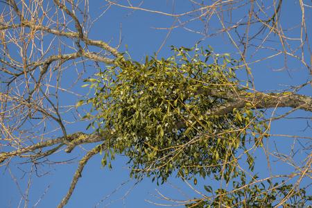 Spherical mistletoe branch with ripe berries on the tree (Viscum album) Foto de archivo