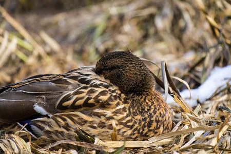 Female wild mallard duck hid her beak between the feathers (Anas platyrhynchos) Stock Photo