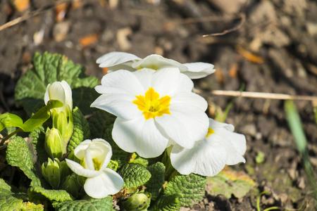 White primrose flowers (Primula acaulis) Banco de Imagens