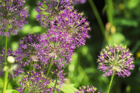 Purple spherical inflorescences of decorative onions on a blurred background of green leaves (Allium)