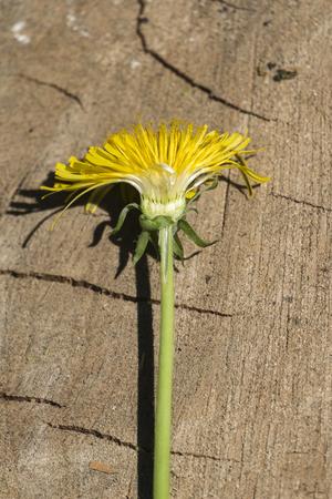 Transverse section of a yellow dandelion (Taraxacum officinale)