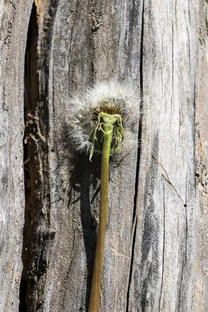 Transverse section of a faded dandelion (Taraxacum officinale) Фото со стока
