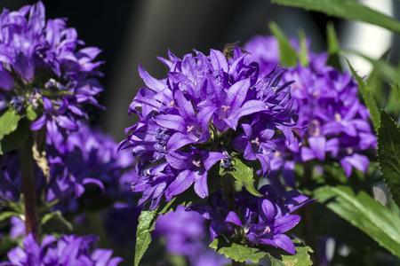 Purple flowers of clustered bellflower (Campanula glomerata)